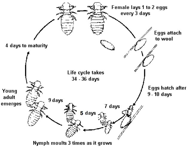 Figure 2. Life cycle of sheep lice. Source: Peter James