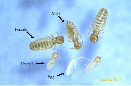 Figure 1. Sheep lice. Source: Peter James