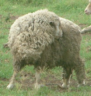 Figure1. Lousy sheep biting at flanks. Source: Deb Maxwell