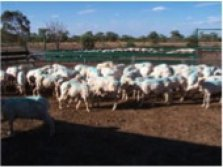 Figure 1. Sheep with backline product applied. Source: Peter James.